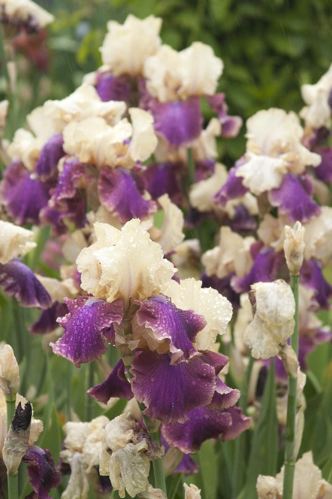 Purple White Bicolor