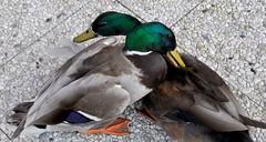 2011 03 29 The Duckfight