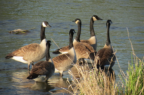 Bernaches  - Geese 2013 002 by Diane G....