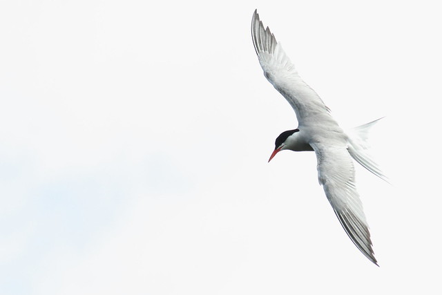 Terns on the Canal at Robert's Park