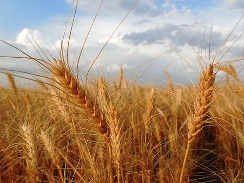 Wheat bobbing in the wind