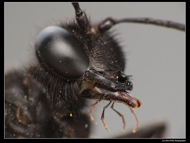 Blue Mud Wasp (Chalybion californicum)