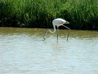141 jonge flamingo