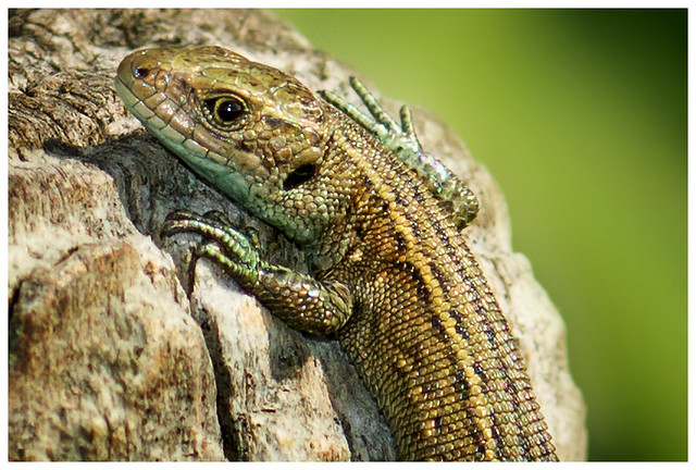 Common Lizard - closeup.