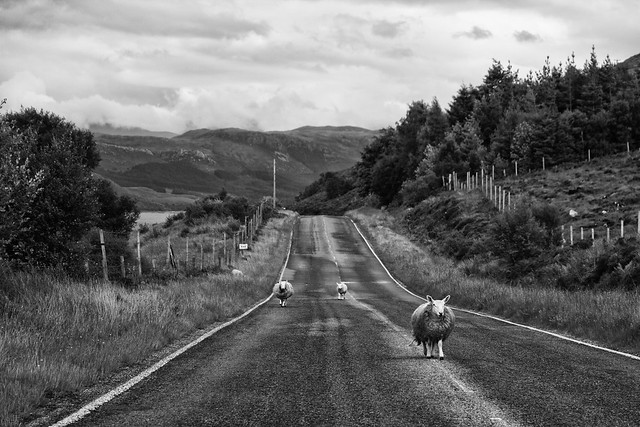 Highland Sheep - Scotland