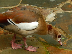 Brown-Eyed Duck