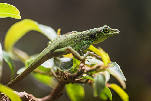 Green lizard on the foliage by Tambako the Jaguar