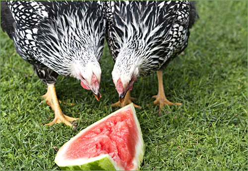 chickens w watermelon