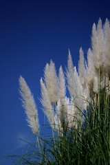 Pampas grass with Blue