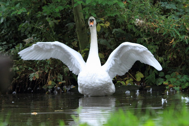 Swan on the Leeds Liverpool canal, Saltaire