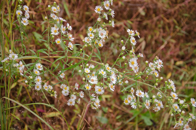 Symphyotrichum pilosum, Old Field Aster, Hairy Aster