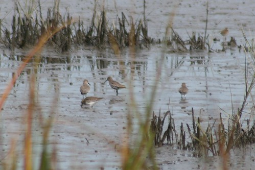 Dunlins + a Semipalmated Plover