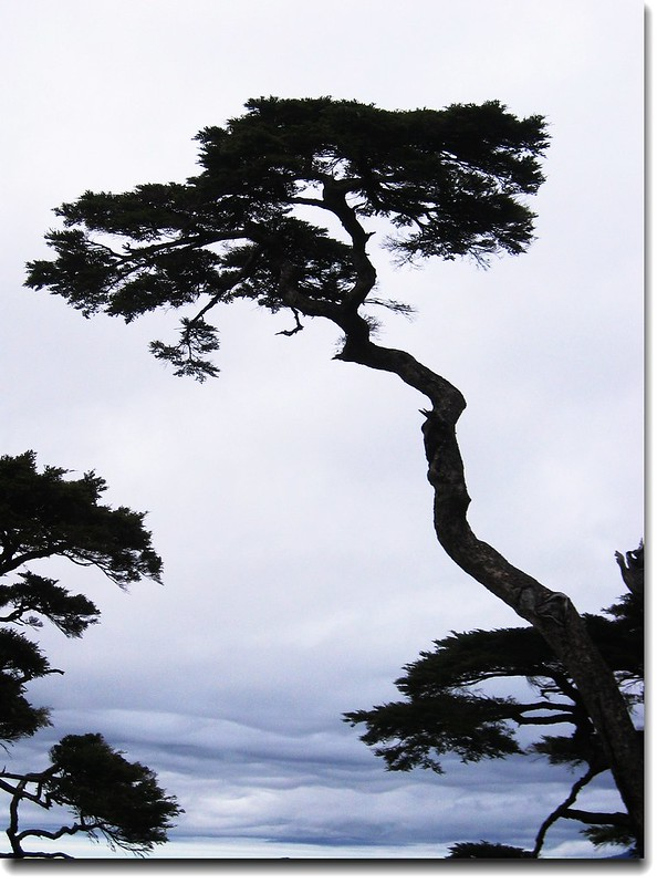 塔關山鐵杉 2