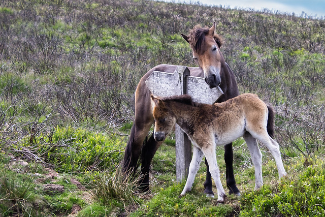 Exmoor pony and her baby