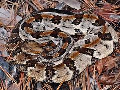 Crotalus horridus