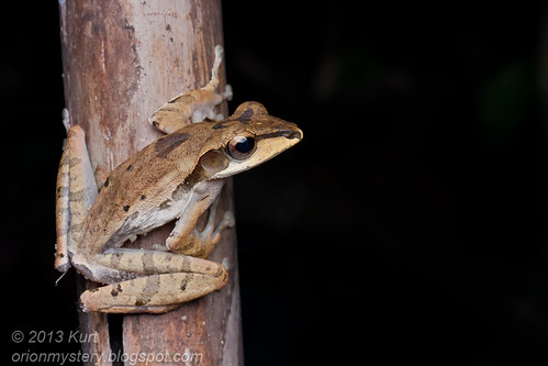 Darked-eared Tree Frog (Polypedates macrotis) IMG_2665 copy