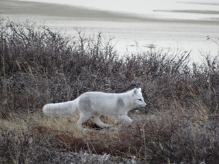 Foxy the arctic fox on her way to visit Wily the red fox