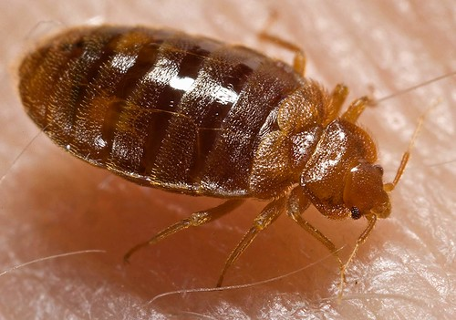 What a bed bug looks like.