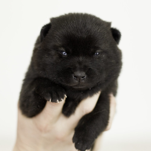 Nori-Litter1-Day15-Puppy3-Female-1