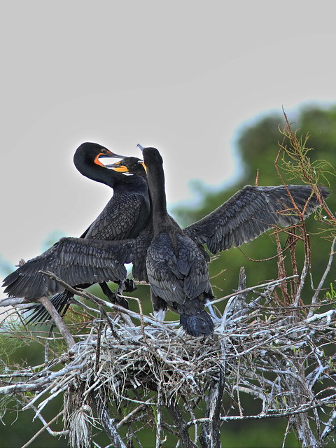 Double-crested Cormorant feeding chicks 03-20131210