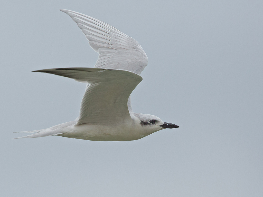 Gull Billed Tern 2013-12-05