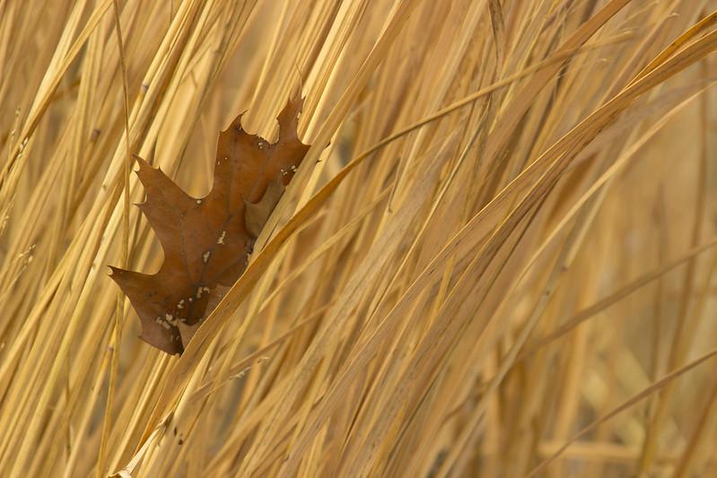 leaf in panicum