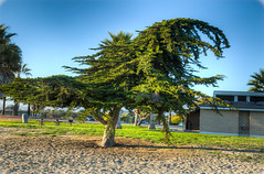 Cypress at the Beach (365-083)