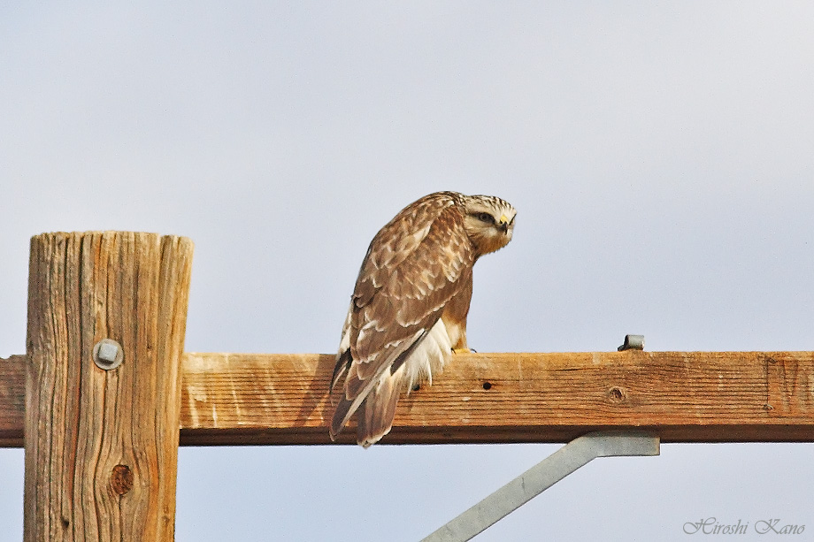 Rough-Legged Hawk 121713-04