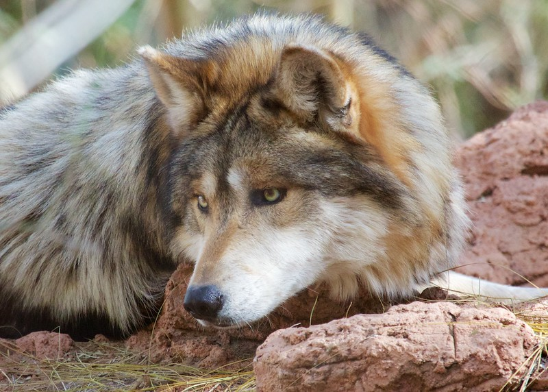 Mexican Wolf Alphs
