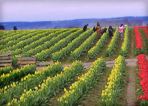 04-08-14 Tulip Pickers