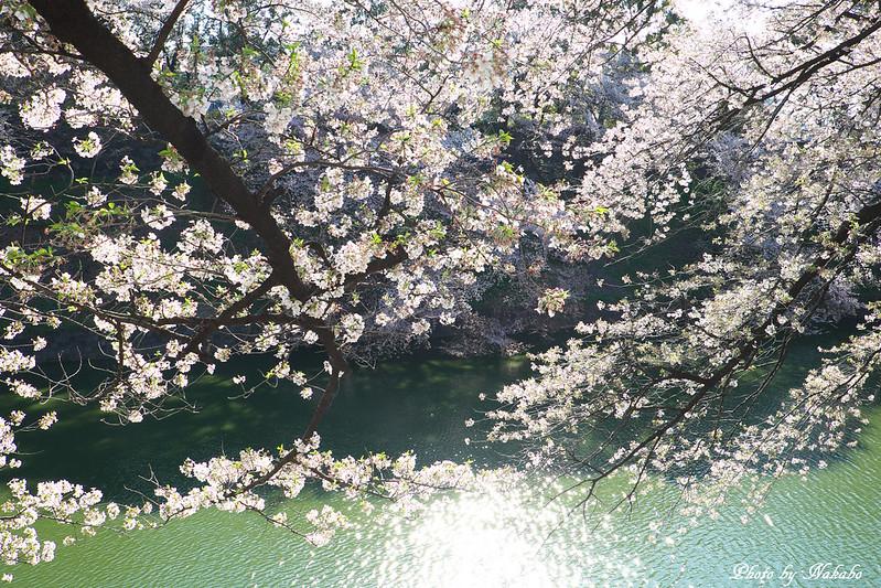 桜 -千鳥ヶ淵界隈- by Nakabo
