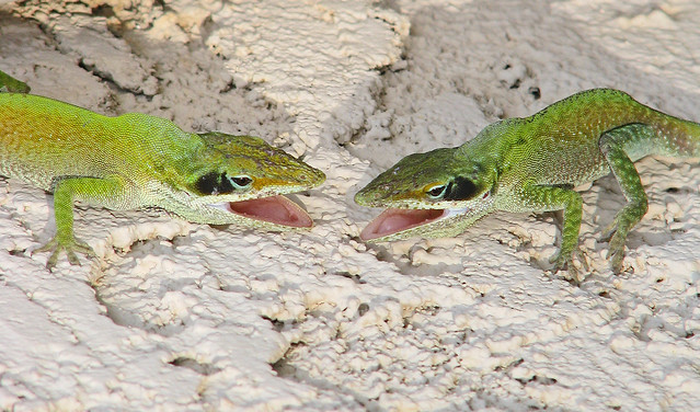 Green anole males - fighting - yesterday