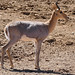 Mountain Reedbuck - Photo (c) Bernard DUPONT, some rights reserved (CC BY-SA)