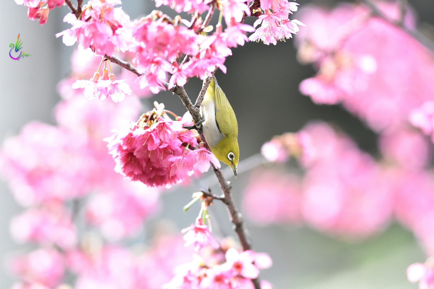 Sakura_White-eye_7797
