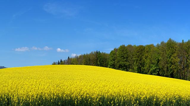 A springtime rapeseed field