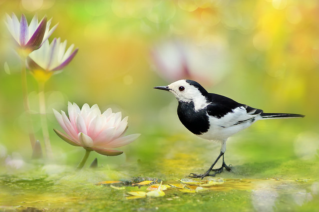 White Wagtail | 牛屎鳥仔