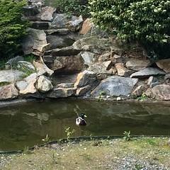 The ducks are visiting this afternoon. #mallardduck #backyardwildlife #backyardpond #springinwashington #hiwalkerphoto