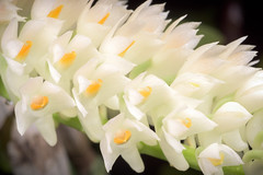 Dendrobium secundum var. album  (Blume) Lindl. ex Wall., Numer. List: n.º 1996 (1828)