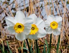 Daffodils yellow inner