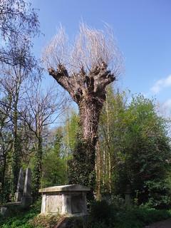 Italian Hybrid Black Poplar in Abney Park Cemetery
