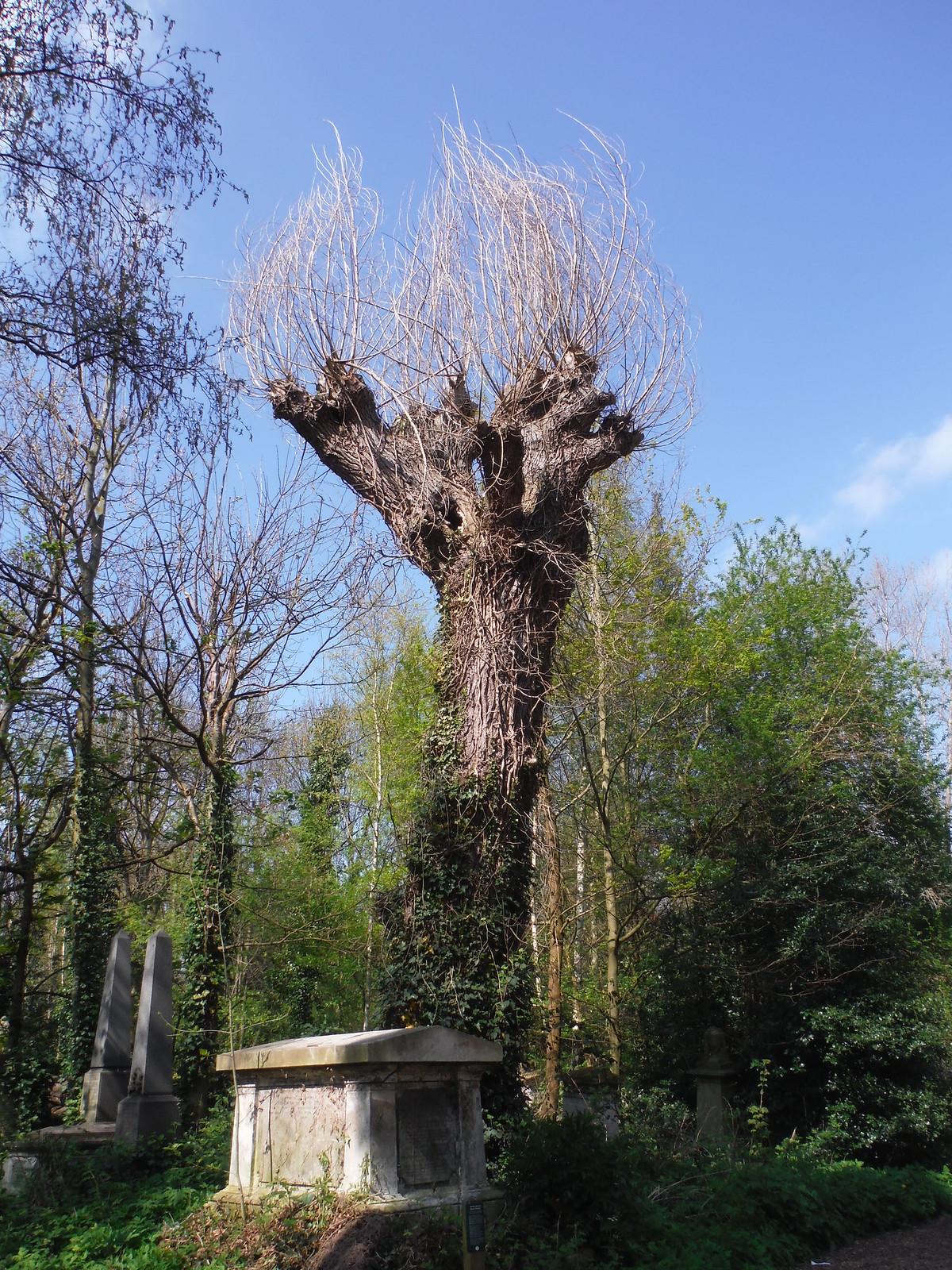 Italian Hybrid Black Poplar in Abney Park Cemetery SWC Short Walk 26 - Woodberry Wetlands (Stoke Newington Reservoirs)