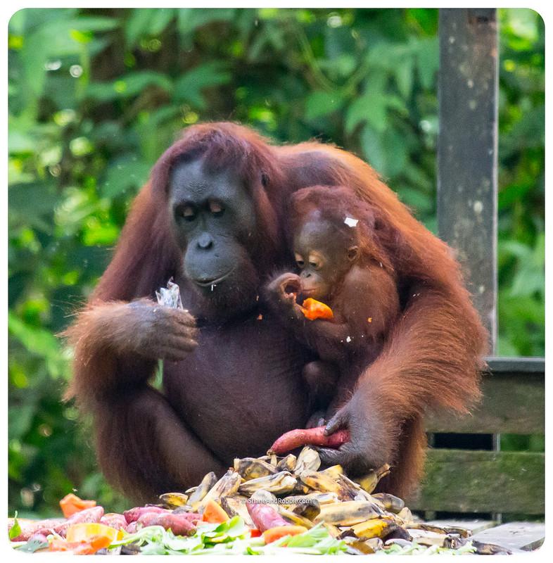 Borneo-20170413-_MG_8225