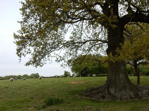 Sheep with tree