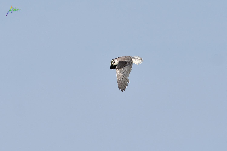Black-winged_Kite_5624