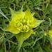 Euphorbia serrata (Dawn Balmer)