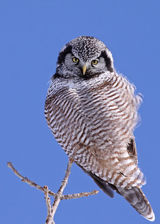 Northern Hawk Owl...#16