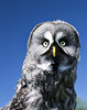 Canadian Great Grey Owl. by MadHat JP
