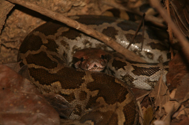 montane trinket snake