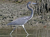 Tricolored Heron, Dog Beach (Florida), 17-Apr-13 by Dave Appleton