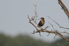 Green Heron-49392.jpg by Mully410 * Images